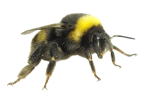 Protected Species Bees | Alpeco