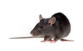 Rat & Mice Treatment Rodents